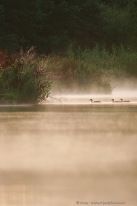 Ducks in evening mist